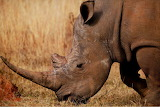 White rhinoceros, South Africa from Microsoft Jigsaw by auricle9