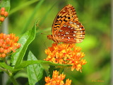 American Fritillary on Butterfly  Weed