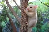 "Animals tumblr tangledwing ""golden brushtail possum"" Austraila"