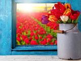 ☺♥ Sunny day in a tulip field...