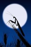 Moon Grasshopper