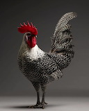 Inspiring Most Beautiful Rare Chickens Breeds on The Planet (4)