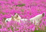 "Madamma tumblr dogstardreams ""Polar Bear Plays in Flower Fields"""