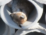 Bobcat in the Tubes