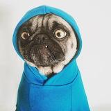 Mugged pug