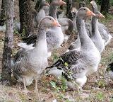 Aubiet We Find Geese Again
