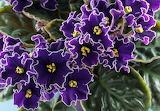 African violet Hawaii