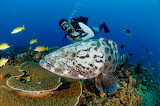 Great grouper