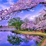 Lilacs at the Pond