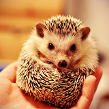 Little Hedgehog...