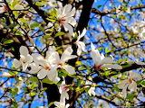 Normal fleurs de printemps-3