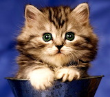 Fluffy Kitten...
