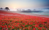 Poppies, field, trees, foggy, sunrise