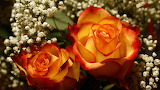 #Red & Yellow Roses