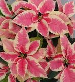 Poinsettia 'Christmas Beauty Marble'
