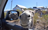Welcoming Commitee, The Oatman Burros