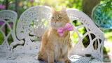 Golden fluffy cat