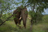 Elephant, grass, trees, nature, animal, tusks