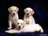 Labrador-dog