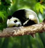 SleepyBabyPanda
