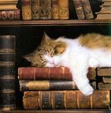 Bookshelf cat 2