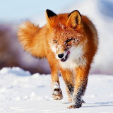 Red Fox in Snow...