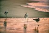 Trio of birds beach Nags Head North Carolina