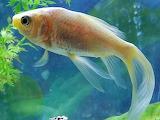 Gold fish (3)