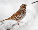 South Dakota Backyard Bird