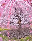 200 year old cherry tree, Japan