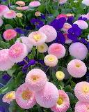 English Daisies and Violas
