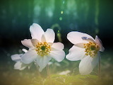Fleurs blanches-nature