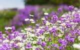 Purple and white summer flowers