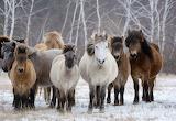 Characteristic Yakut horses