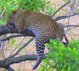 Leopard ~ Kenya