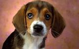 Awesome-beagle