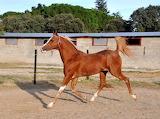 Arabian Trotting in Paddock