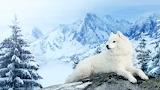 Dogs Winter Samoyed