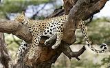 Leopard-lying-big-cat