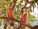 Beautiful Australian Birds