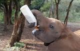 Animal-rights-elephants-pigs-20140302-001
