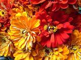 ^ Zinnias - late Summer flowers