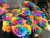 lovely rainbow rose