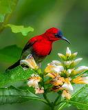 ^ Crimson Sunbird