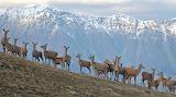 Norway Deer Herd