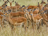 African gazelle impala