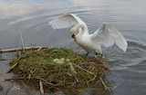 Swans nest on lake surface