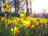 sunny daffodils. Enjoy spring!