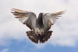 Paloma al vuelo