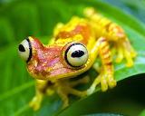 ImbaburaTreefrog